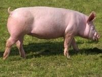 Lebendschwein