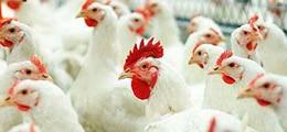 chickens wiki044