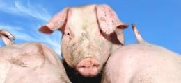 Schweinefleisch wird knapp: USA im Schweinezyklus   Nachricht   finanzen.net