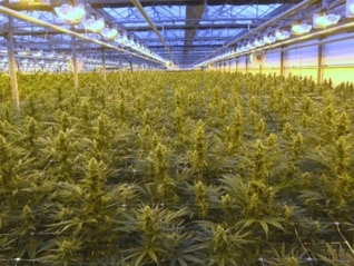 : Notorious cannabis producer CannTrust will destroy $77 million of weed inventory and plants to gain regulatory approval (CTST)