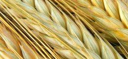 Gold und Weizen: Weizen: In überverkaufter Zone angelangt   Nachricht   finanzen.net